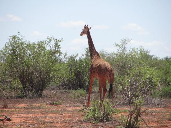 In2kenya: giraffa