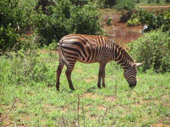 ‪‪In2kenya‬: zebra
