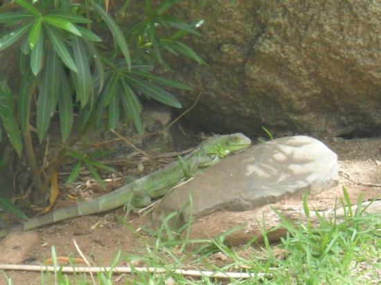 The Mill Resort & Suites Aruba: Resident Iguana
