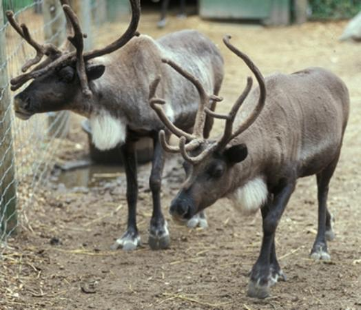Candia, Nueva Hampshire: Two of our young reindeer