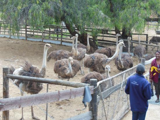 Cango Ostrich and Butterfly farm: Female Ostriches