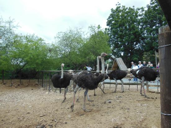Cango Ostrich and Butterfly farm: Male ostriches