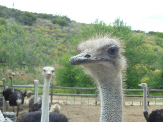 Cango Ostrich Show Farm: Close and Personal