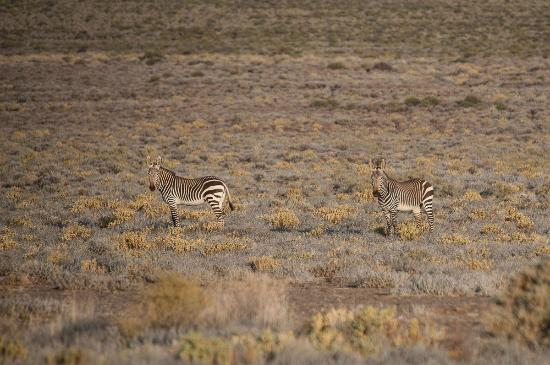 Tankwa Karoo National Park: These zebra came to drink at the waterhole in front of the Paulshoek cottage