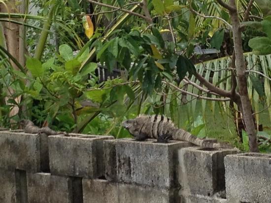 Belize Tours Unlimited: Iguana wall ...