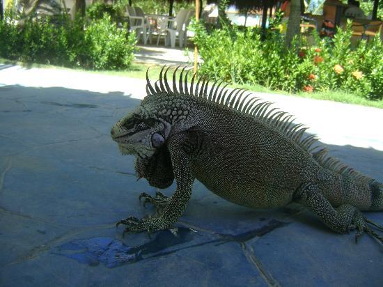 Punta Blanca Hotel : iguanass