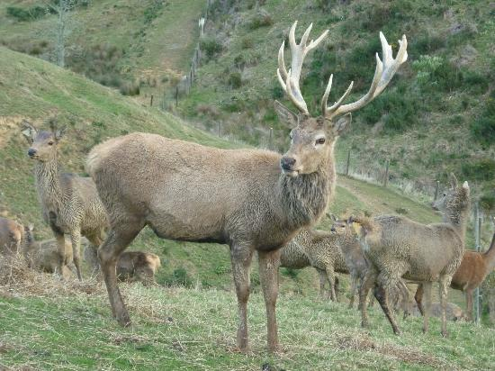 Springcurl Lodge Bed & Breakfast : Our Master Stag