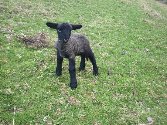 Springcurl Lodge Bed & Breakfast: First Lamb this Season