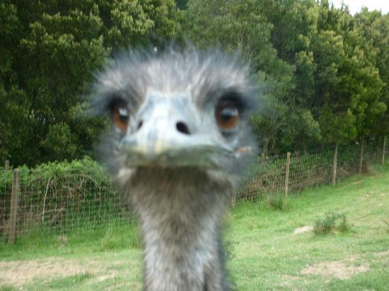 Springcurl Lodge Bed & Breakfast : Emu
