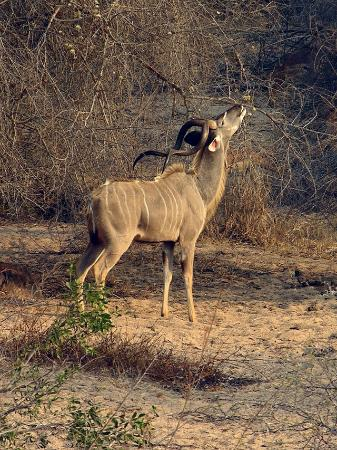African Budget Safari: Kudu snacking away