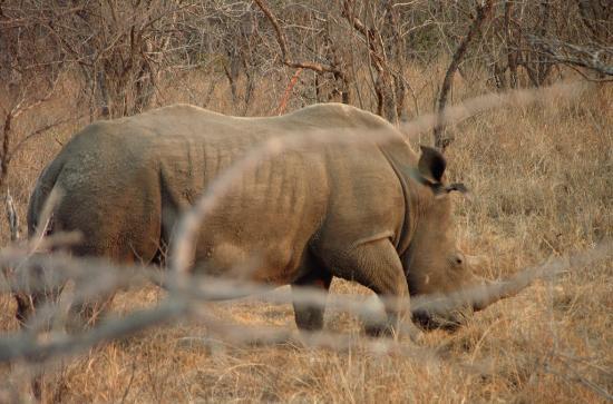 African Budget Safari: A white rhino, now in critical danger of extinction due to rampant poaching