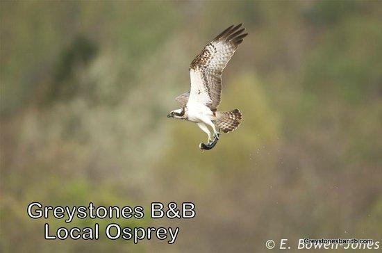 Greystones B&B: local Osprey