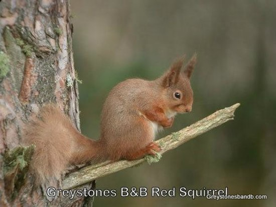 Greystones B&B: Our garden Red Squirles