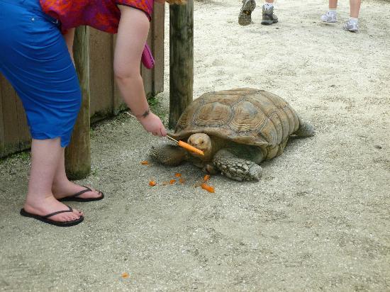 Gatorland: Tortoise feeding