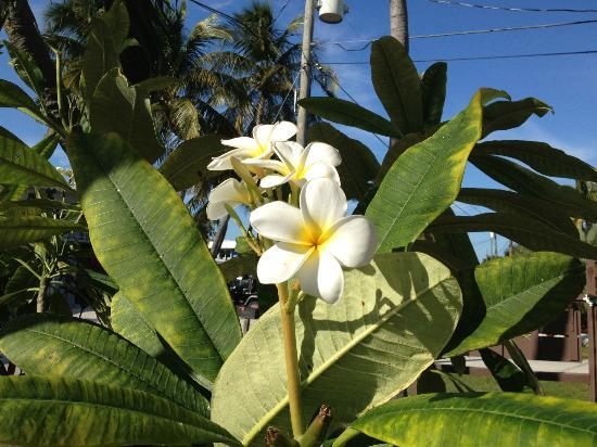 Ragged Edge Resort & Marina: Plumeria on the property