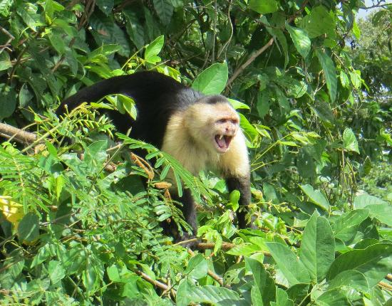Gatun Explorer Panama Canal Jungle Day Tour : Capuchin from the Jungle Cruise boat