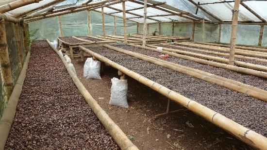 El Quetzal de Mindo Chocolate Tour: Drying the beans