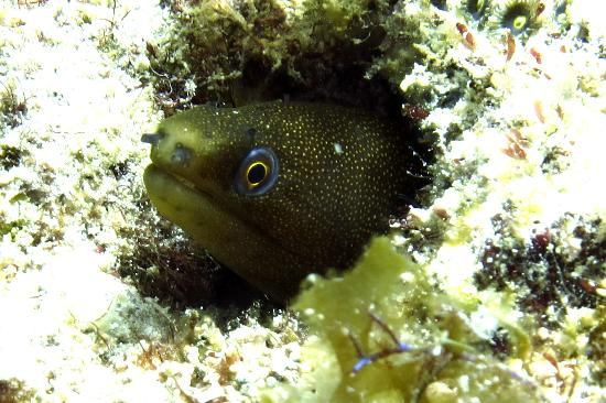 Dive BVI: Goldentail Moray