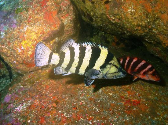 Paihia Dive: Yellow banded Perch