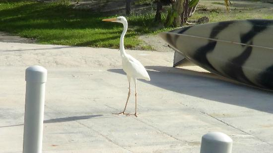 "Gulf View Waterfront Resort: One of the local residents possibly ""Charlie"""