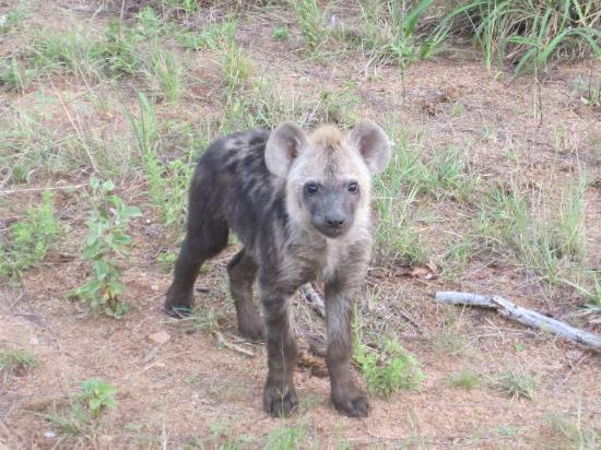 Umlani Bushcamp: Baby hyena