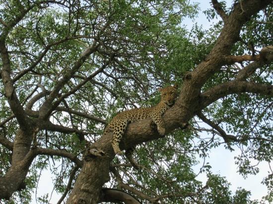 Umlani Bushcamp: Relaxing leopard