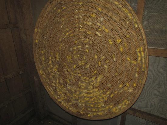 Angkor Silk Farm: Cocoons on a framework