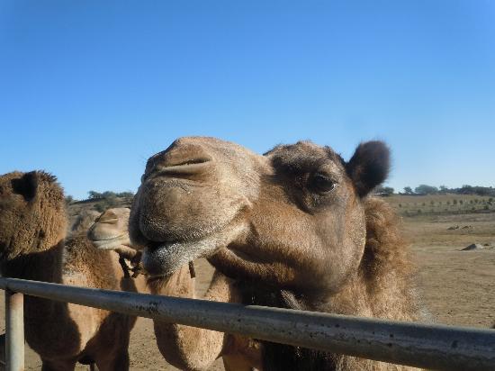 Oasis Camel Dairy: sweetie