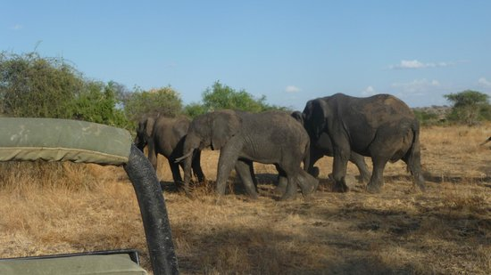 Manyara Ranch Conservancy:                   Elephants amble by.