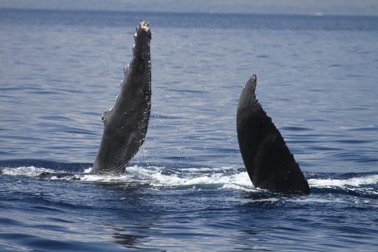 Pacific Whale Foundation: Pec Slap