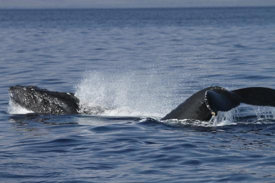 Pacific Whale Foundation: Head lunge with a second whale showing its fluke