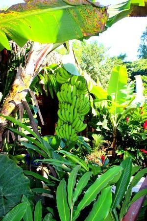 Pranamar Villas and Yoga Retreat: fresh bananas