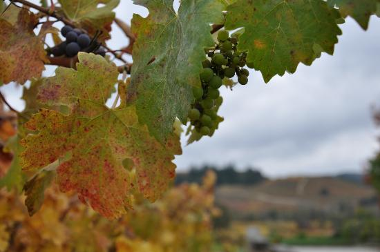 Dutcher Crossing Winery: A few grapes left after harvest 2012 - anticipated to be a great vintage