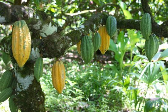 La Loma Jungle Lodge and Chocolate Farm: Cacao trees full of fruit