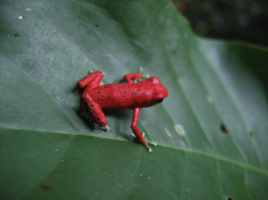La Loma Jungle Lodge and Chocolate Farm: Our famous red frogs