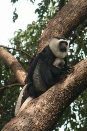 Boabeng-Fiema Monkey Sanctuary : White colombo monkey with baby