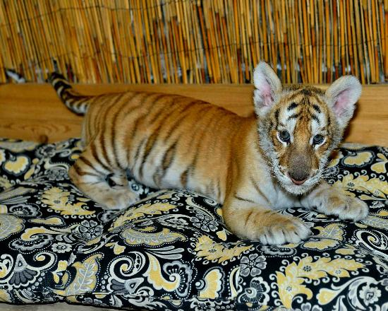 McCarthy's Wildlife Sanctuary: Baby tiger taking a break