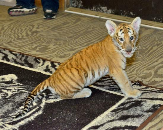 McCarthy's Wildlife Sanctuary: Tiger Romp