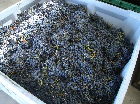 Anderson Winery: A delicious bin of hand picked grapes ready to turn into wine