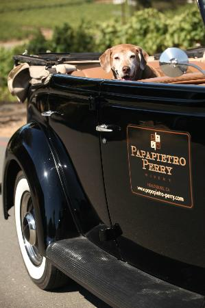 Papapietro Perry Winery: Our winery dog, Ruby, waiting for a ride