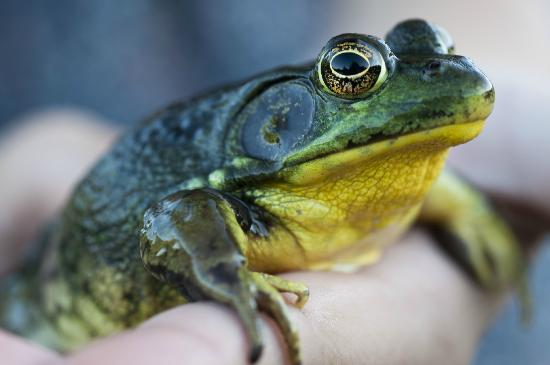 Au Diable Vert: A frog in the pond