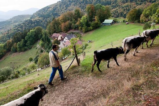 Auberge du Mehrbachel: La Ferme : nos vaches