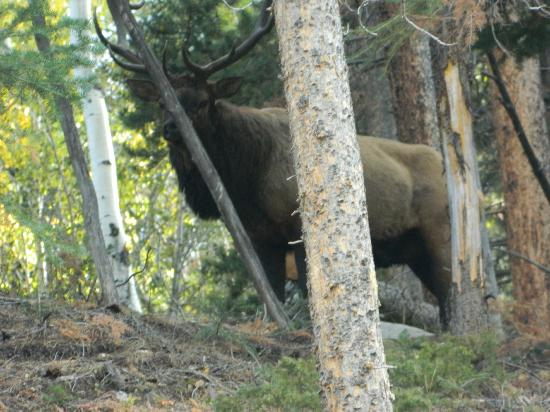 Bull Elk at Horseshoe Park