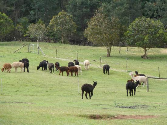 Tin Dragon Trail Cottages: The family of Alpacas