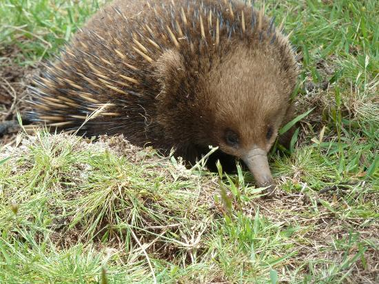 Tin Dragon Trail Cottages: The little Echidna that came to say hello