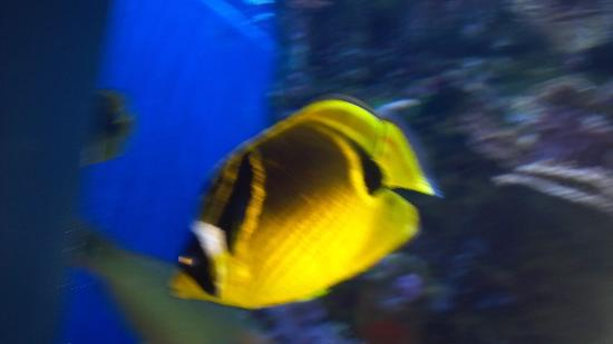 Maui Ocean Center: Butterfly fish