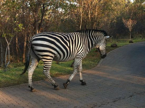‪‪AVANI Victoria Falls Resort‬: Zebra inside the Park‬