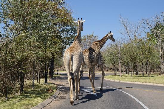 AVANI Victoria Falls Resort: Giraffes wandering around the park
