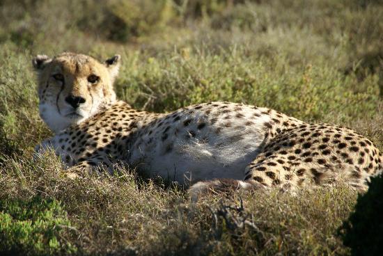 كوزوكو لودج: Cheetah on game drive - viewed on foot! 
