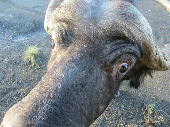 Kuzuko Lodge : Buffalo up close on game drive